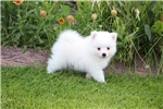 Picture of UKC Champion toy American Eskimo/Ms. Pink