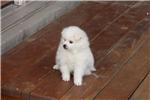 Picture of UKC Champion mini male American Eskimo/Mr. Gray