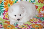 Picture of UKC Champion mini male American Eskimo/Gambler Jr.