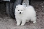 Picture of UKC Champion Mini American Eskimo puppy/Mr. Black