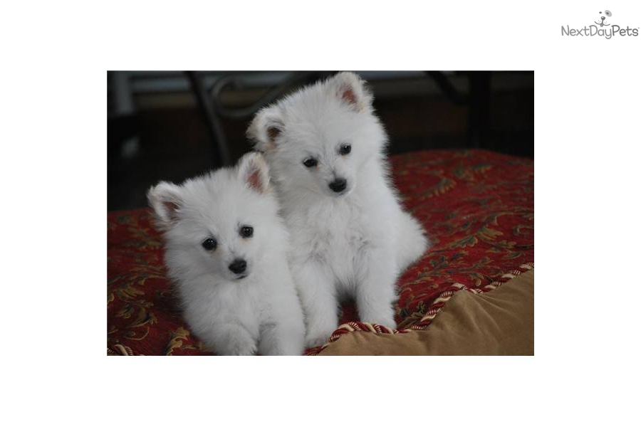Toy Size Dogs : American eskimo dog toy size