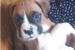 Picture of Male Flashy/Fawn Boxer Puppy