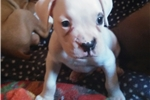 Picture of Male White Boxer Puppy