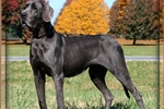 Picture of AKC Blue Great Dane puppies