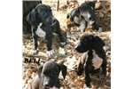 Picture of AKC European Great Dane Puppy