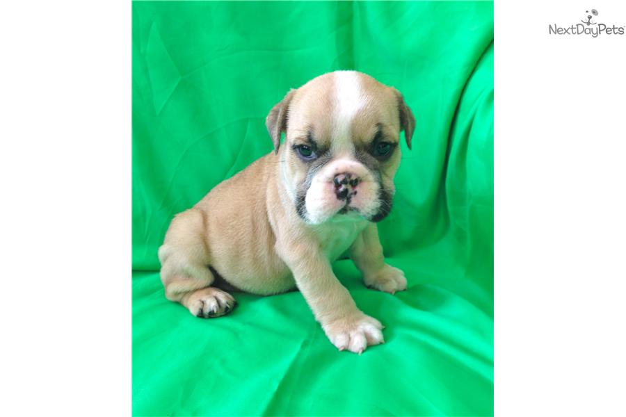 english bulldog puppies for sale with papers