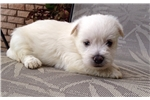 Picture of an Africanis Puppy