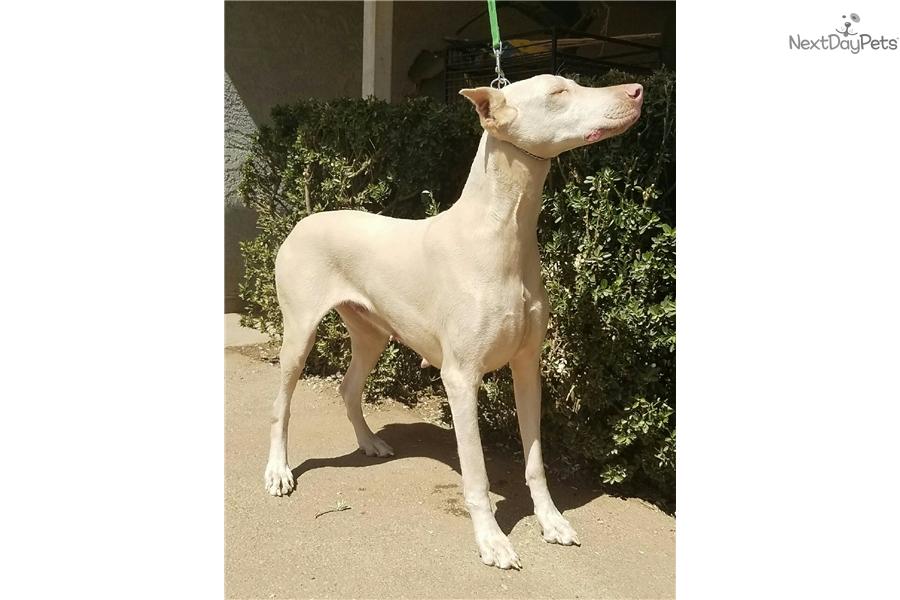 Doberman Pinscher Dog For Sale Fresno