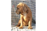 Chomper pups | Puppy at 19 weeks of age for sale