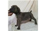 Picture of CH Madtown Chomper #5 Litter (Female)