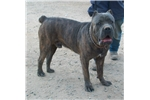 Picture of CH Madtown Chomper X ADF CH Litter (Females)