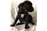 Picture of BATHSHEBA PUPS (FEMALE)