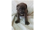 Picture of CH Madtown Chomper Litter #3 (Female)