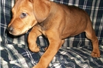 Picture of Blue fawn! Canis Panther