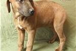 Picture of COBALT PUPS (MALE)