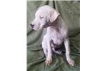 Picture of White Dogo Male - UNI