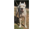 Picture of Dogo Argentino | 1YR AKC registered\ADF champ par.