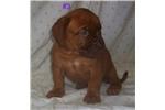 Picture of Bordeaux Pups!  $800 -1000- 1200
