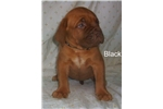 Picture of Bordeaux Puppies!Looking for new home!$800 - 1200