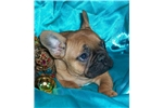 Picture of Glamour Boy- Chocolate & Blue carrier