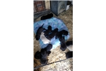 Picture of English Labrador Retrievers