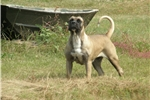 Presa Canario Puppies Ready to go for Christmas | Puppy at 14 months of age for sale