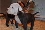 Alapaha Blue Blood Bulldog for sale