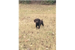 Boykin Spaniel puppy | Puppy at 26 weeks of age for sale