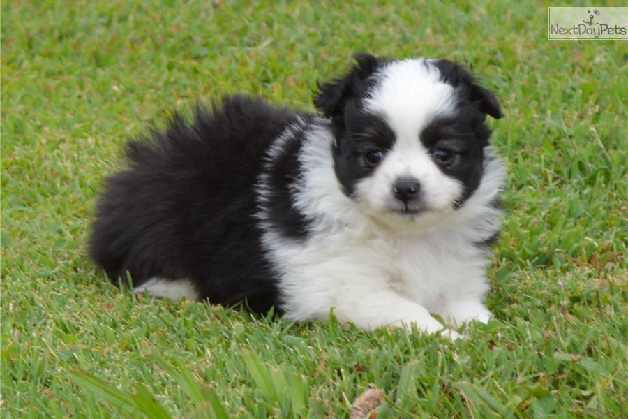Miniature australian shepherd puppy for sale near jackson tennessee
