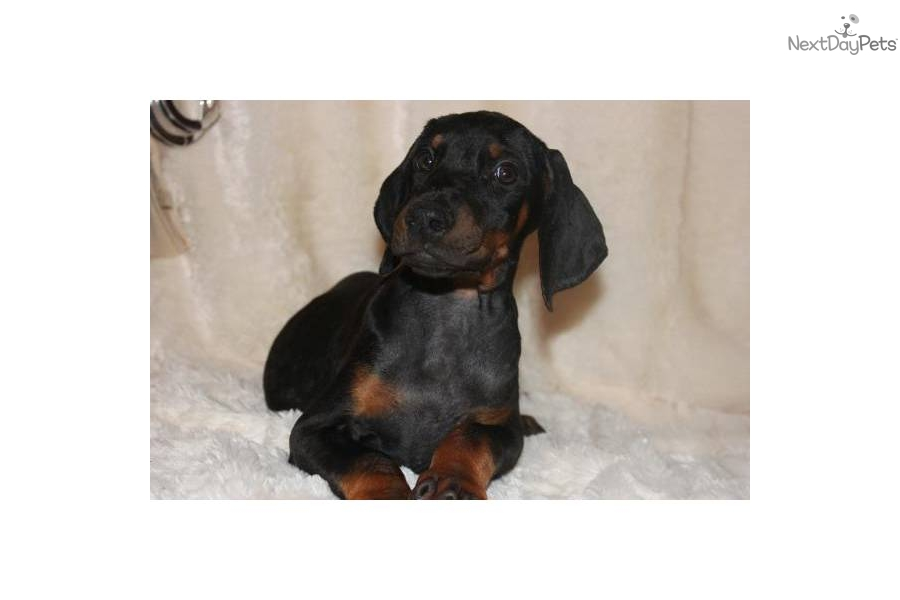 Doberman Pinscher Puppy for Sale: JOHN DILLINGER--SUPERIOR SIZE MALE ...