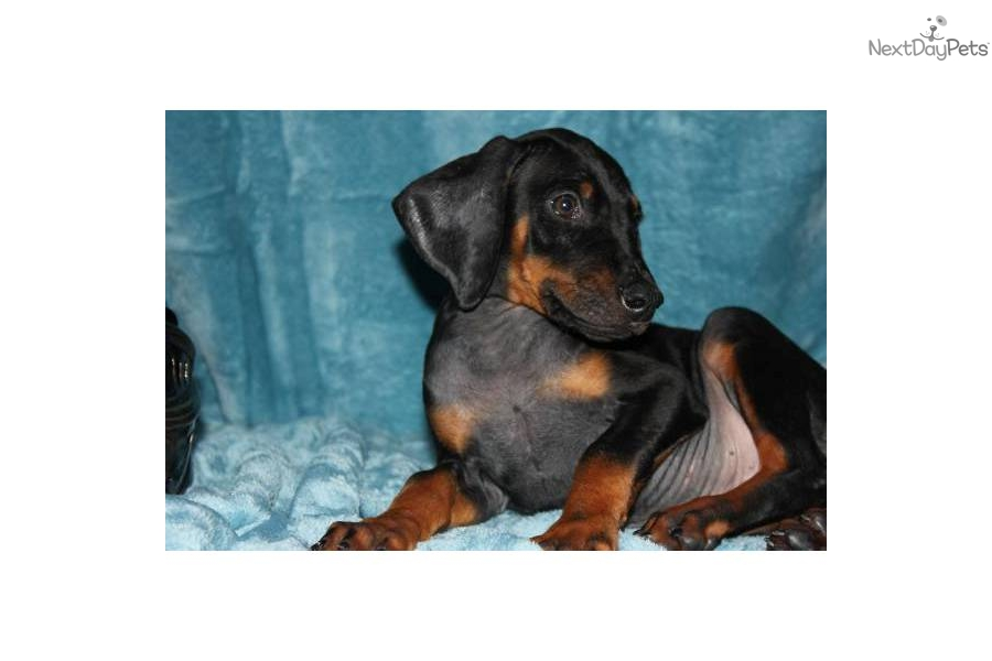 warlock doberman pinscher 18 - photo #35