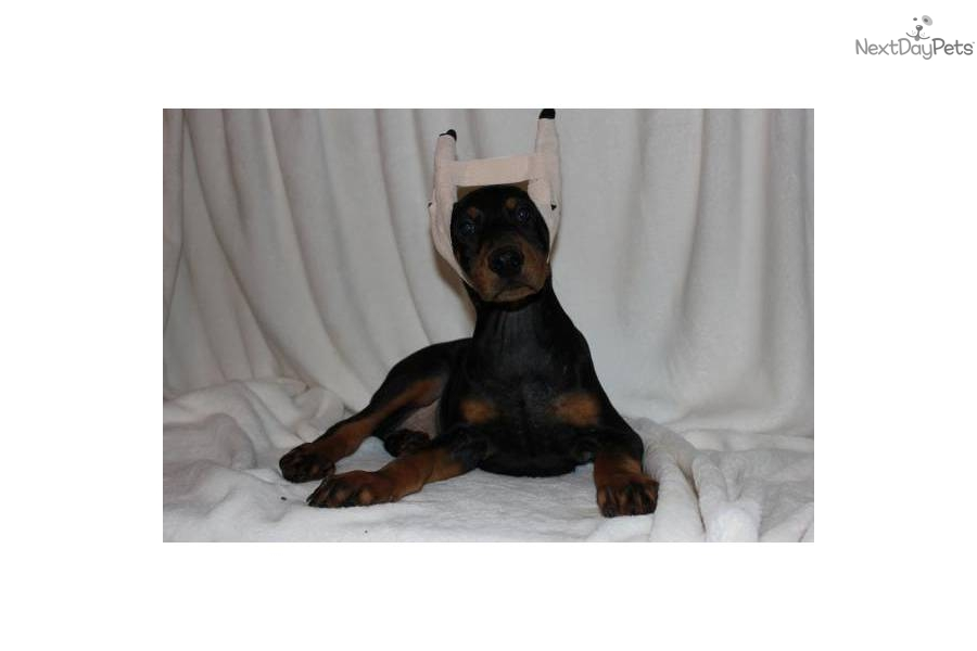 Doberman Pinscher Puppy for Sale: WARLOCK/KIMBERTAL SUPERIOR SIZE ...