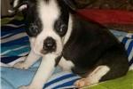 Picture of ckc boston terrier