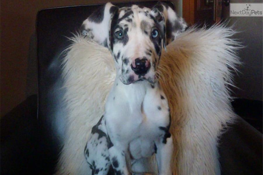 Harlequin great dane puppy blue eyes