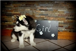 Picture of Adoreable AKC Registered Siberian Husky Puppies