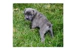 Picture of a Cane Corso Mastiff Puppy