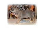 Picture of a Swedish Vallhund Puppy