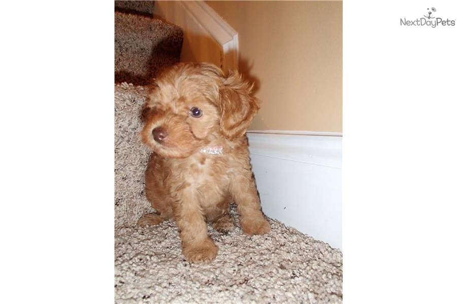 Red Yorkie Poo Breeders | Dog Breeds Picture