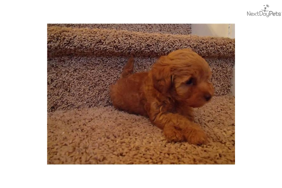 Yorkie Puppies On Red And Blonde Yorkie Poo Puppies | Dog ...
