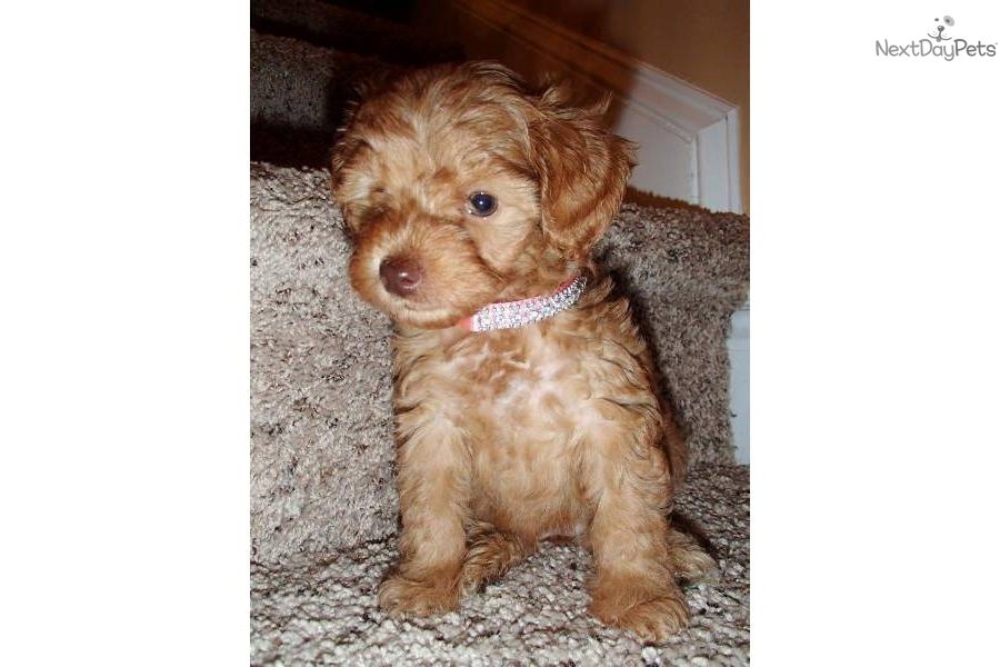-rare-red-yorkiepoo-second-generationdog-yorkiepoo-yorkie-poo-puppy