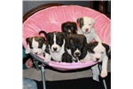 Featured Breeder of American Bullies with Puppies For Sale