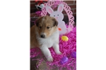 Picture of AKC  COLLIE  PUP
