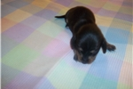 Picture of AKC female - Emily