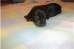 Picture of AKC female - Laura