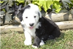 Picture of Old English Sheepdog Beautiful Sassy Girl!