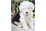 Picture of Old English Sheepdog- Champion Grand Sired