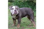 Picture of Champion Sired Olde English Bulldog female pup
