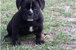Picture of Champion Sired Olde English Bulldogs pup