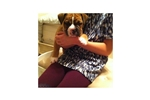 Picture of an Olde English Bulldogge Puppy