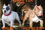 Picture of UKC registered Bully - Pit Bull pups